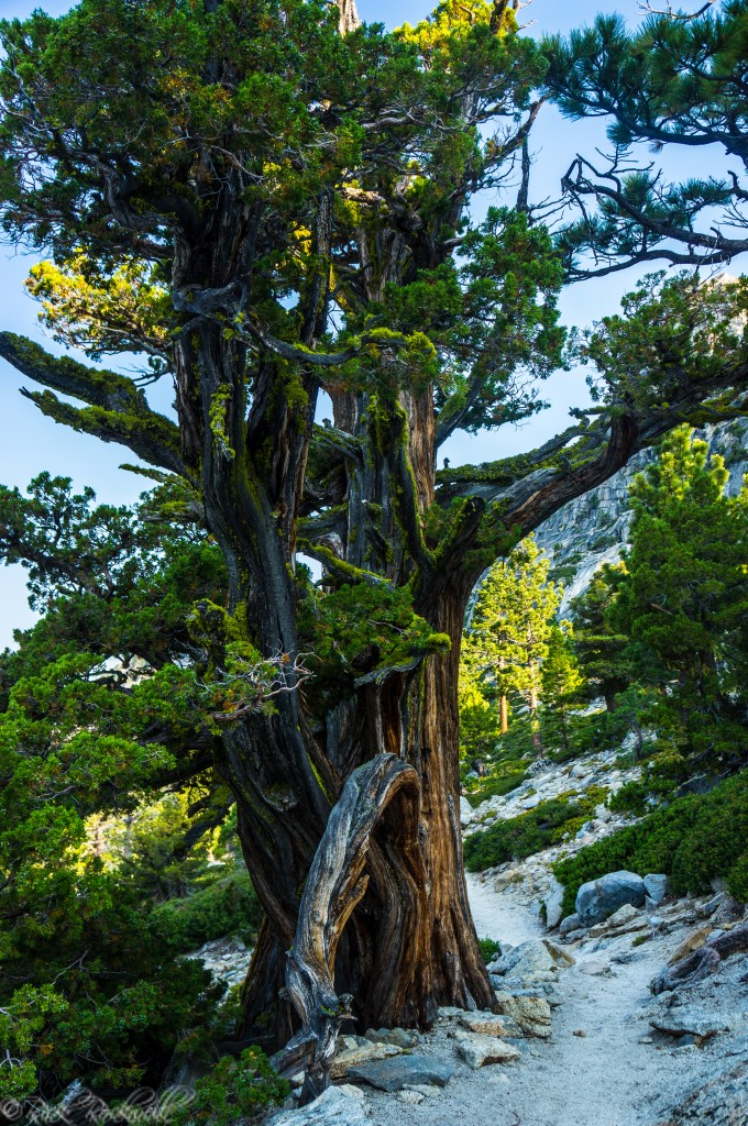 One of the coolest trees I've ever seen on a hike.